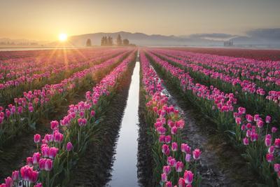 Sunrise over the Skagit Valley Tulip Fields, Washington State