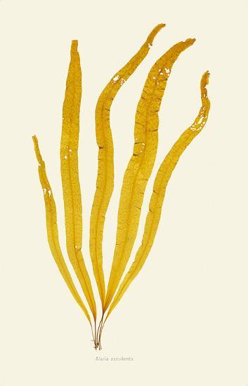 Alaria Esculenta--Premium Giclee Print