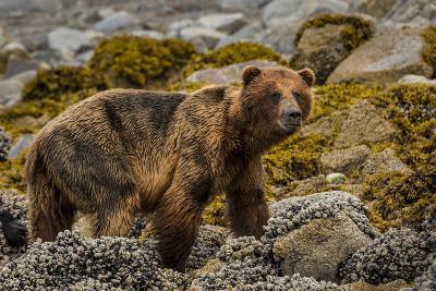 Alaska, Glacier Bay National Park. Brown Bear on Beach-Jaynes Gallery-Photographic Print