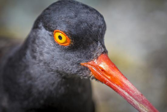 Alaska, Glacier Bay National Park. Close Up of Black Oystercatcher Bird-Jaynes Gallery-Photographic Print