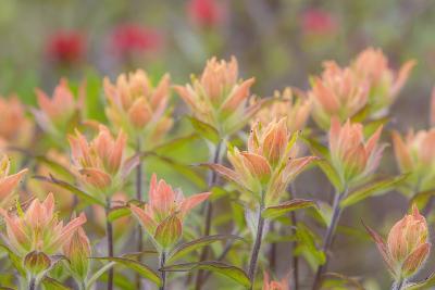 Alaska, Glacier Bay National Park. Indian Paintbrush Flowers-Jaynes Gallery-Photographic Print