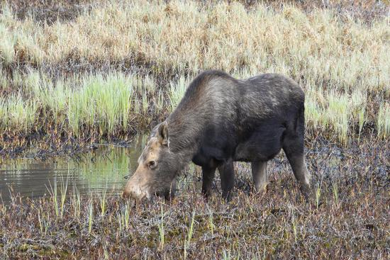 Alaska, Moose Off Seward Highway Near Girdwood-Savanah Stewart-Photographic Print