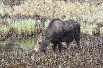 https://imgc.artprintimages.com/img/print/alaska-moose-off-seward-highway-near-girdwood_u-l-q13cmpj0.jpg?p=0