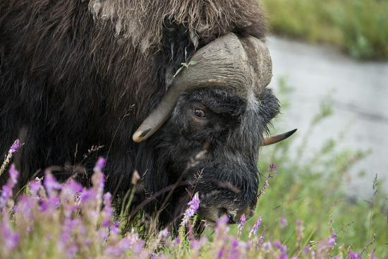 Alaska, Nome. Muskox male with wildflowers.-Cindy Miller Hopkins-Premium Photographic Print