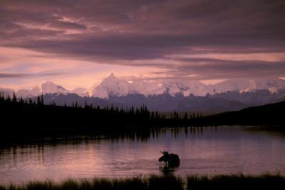 Alaska Range Moose Bull Wonder Lake Denali Natl Park Interior Alaska Summer Trees Snow-Design Pics Inc-Photographic Print