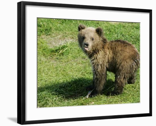 Alaskan Brown Bear, Baby Bear Sticking Tongue Out, Alaska-Roy Toft-Framed Photographic Print