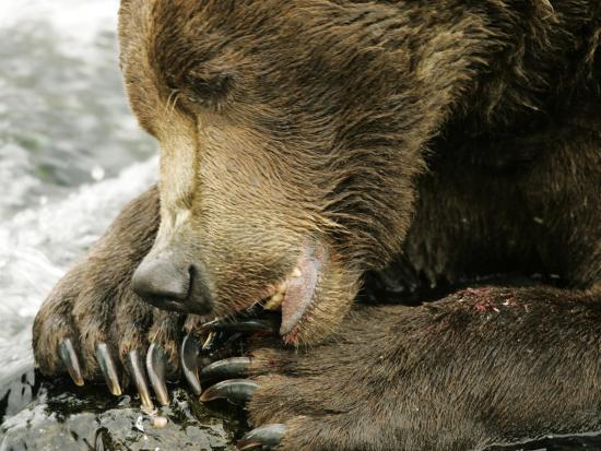 Alaskan Brown Bear, Close-up of Bear Eating Salmon, Alaska-Roy Toft-Photographic Print