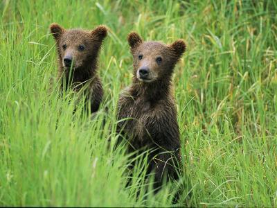 Alaskan Brown Bear Cubs Wait in Long Grass for Their Mother-Michael Melford-Photographic Print