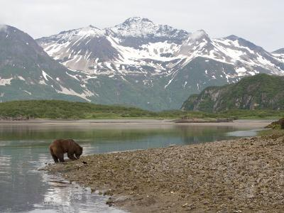 Alaskan Brown Bear Foraging by the Water in a Snowy Mountain Landscape-Roy Toft-Photographic Print