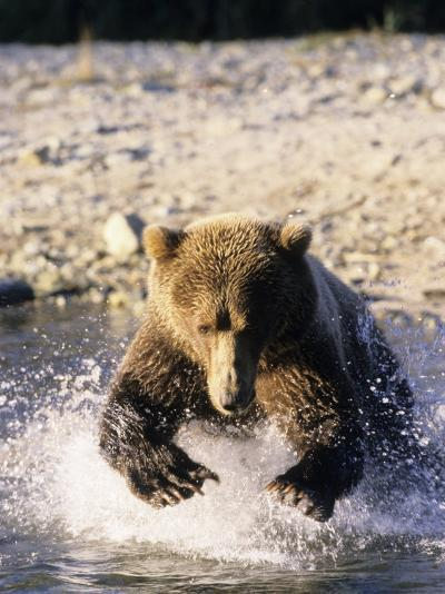 Alaskan Brown Bear, Large Male Catching Salmon in Water, Alaska-Daniel J. Cox-Photographic Print