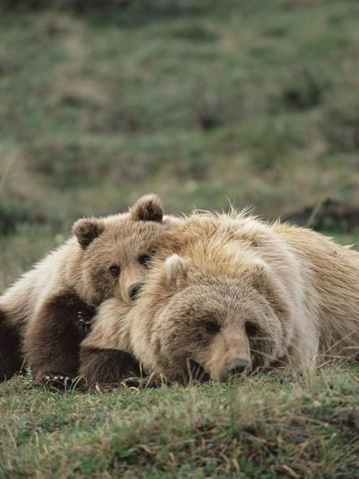 Alaskan Brown Bear or Grizzly Bear (Ursus Arctos) Mother and Cub Resting, Denali , Alaska-Michael S^ Quinton-Photographic Print