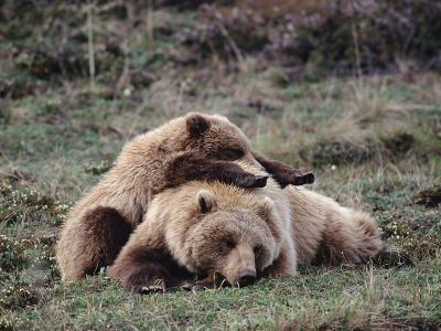 Alaskan Brown Bear or Grizzly Bear (Ursus Arctos) Mother and Cub Sleeping, Denali, Alaska-Michael S^ Quinton-Photographic Print