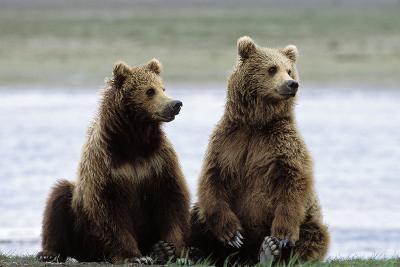Alaskan Brown Bear Sub-Adults--Photographic Print