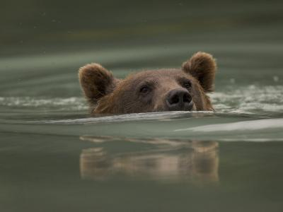 Alaskan Brown Bear Swims across River-Michael S^ Quinton-Photographic Print