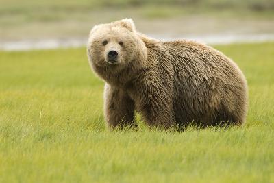 Alaskan, Brown Bear, Ursus Middendorffi, Katmai National Park, Alaska-Howie Garber-Photographic Print
