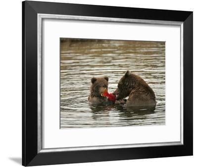Alaskan Brown Bear with Cub (Ursus Arctos) Eating Salmon in Water-Roy Toft-Framed Photographic Print