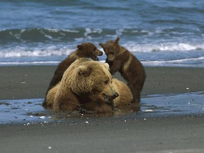 Alaskan Brown or Grizzly Bear (Ursus Arctos) Sow and Cubs on Shore, Katmai Nat'l Park, Alaska-Suzi Eszterhas/Minden Pictures-Photographic Print