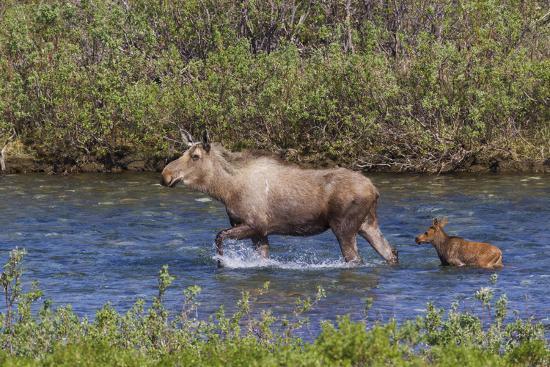 Alaskan Cow Moose with Young Calf-Ken Archer-Premium Photographic Print