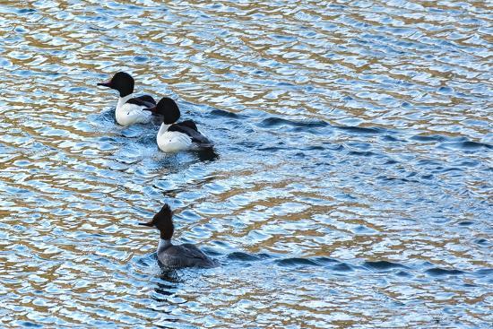 Alaskan Ducks-Brenda Petrella Photography LLC-Giclee Print
