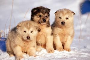 Alaskan Husky Dogs X Three Young Pups Sitting in Snow