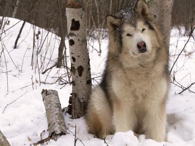 Alaskan Malamute Dog, USA-Lynn M^ Stone-Photographic Print