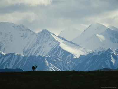 Alaskan Moose Against a Backdrop of Jagged Snow-Covered Mountains-Michael S^ Quinton-Photographic Print