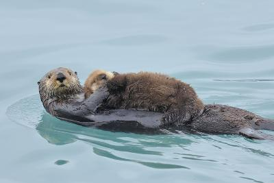 Alaskan Northern Sea Otter Mother Carrying--Photographic Print