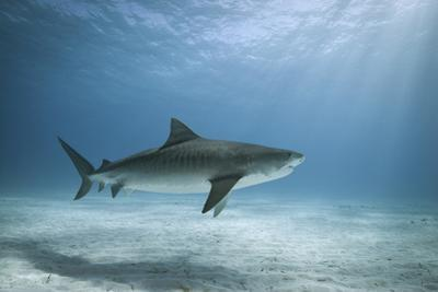 Tiger Shark in Water by Alastair Pollock Photography