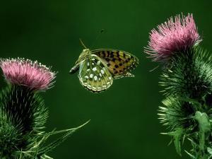 Dark-Green Fritillary, Flying Towards Thistle by Alastair Shay