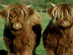 Highland Cattle, 9 Month Old Calves, Scotland by Alastair Shay