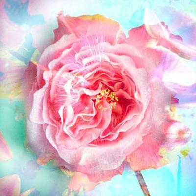A Floral Montage of a Mallow and a Rose in Powerful Pastels, Photograph, Layer Work