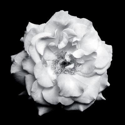 Blossom of a White Garden Rose on Black Background