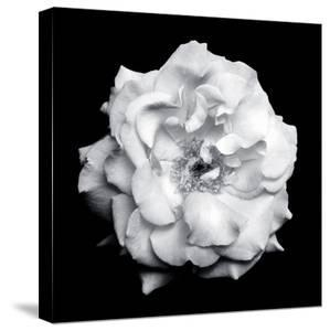 Blossom of a White Garden Rose on Black Background by Alaya Gadeh