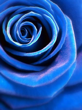 Close-Up of a Blue Rose