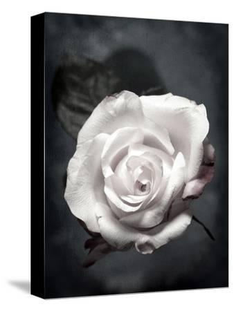 Close-Up of a White Rose on Black Background