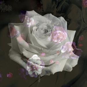 Composing, White Rose Layered with Pink Blossoms on Black Background by Alaya Gadeh