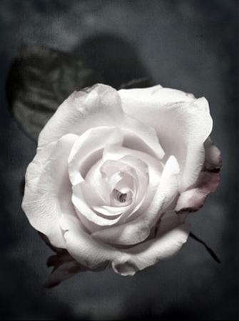 Pale Pink Rose Portrait