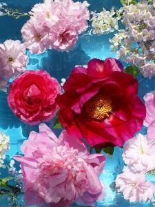Poeny Blossoms in Pink and Red in Blue Reflected Water by Alaya Gadeh