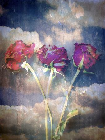 Three Almost Faded Roses in Dark Blue Sky