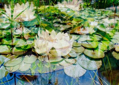 Water Lily Impression