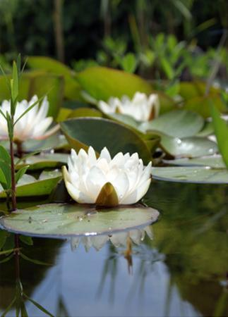 White Water Lily In Pond II