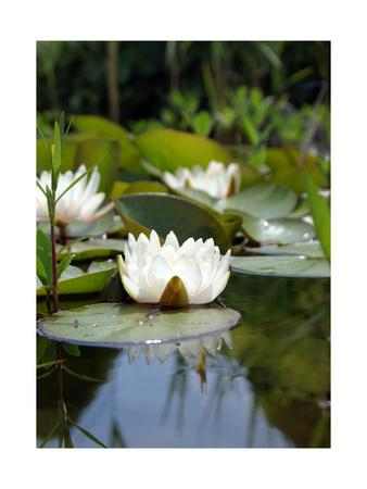 White Water Lily In Pond IIAlaya Gadeh