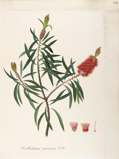 Albany Bottlebrush (Callistemon Speciosum Dc)--Giclee Print