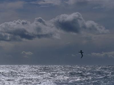 Albatross Silhouette Gliding over the Ocean against Storm Clouds, Australia-Jason Edwards-Photographic Print