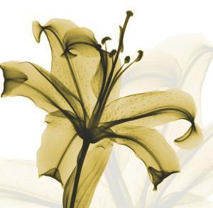 A Golden Lily by Albert Koetsier