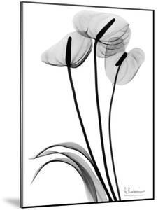 Anthurium Triple in Black and White by Albert Koetsier