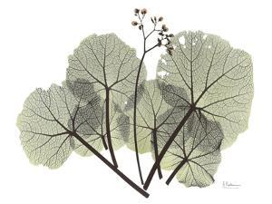 Begonia L298 by Albert Koetsier