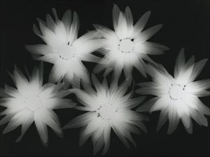 Big Blossoms IV by Albert Koetsier