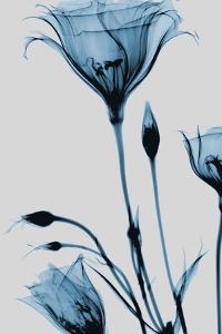 Blue Gentian by Albert Koetsier