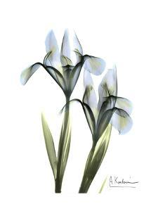 Blue Iris Portrait by Albert Koetsier
